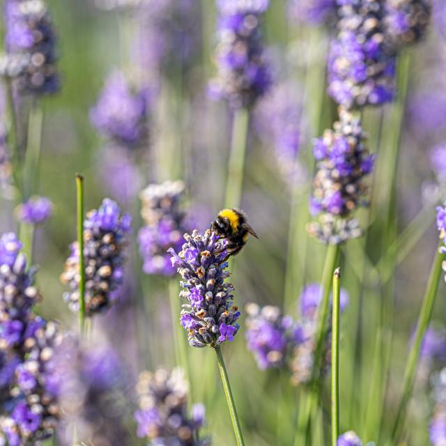 """Bee in Lavender Field."" stock image"