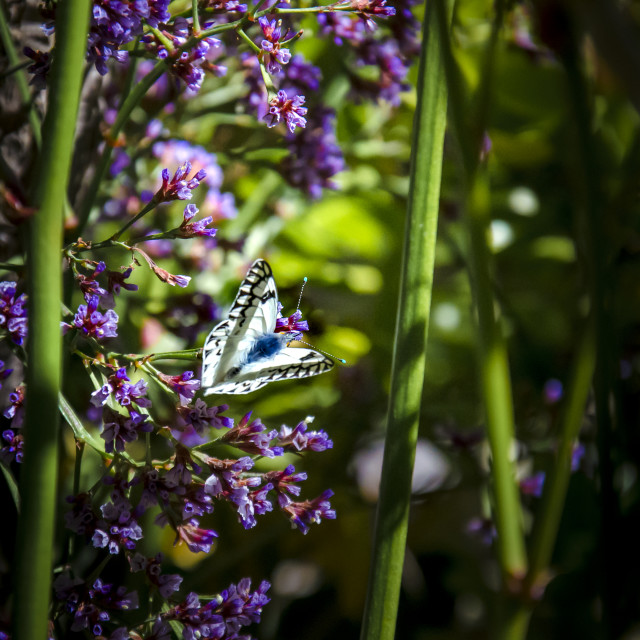 """butterfly among flowers"" stock image"