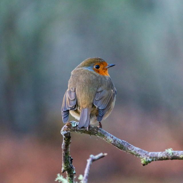 """""""Robin Red Face, Scotland"""" stock image"""