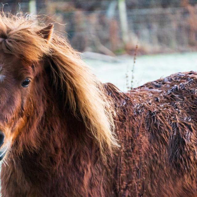 """Enjoying the Sun, Scottish Pony"" stock image"