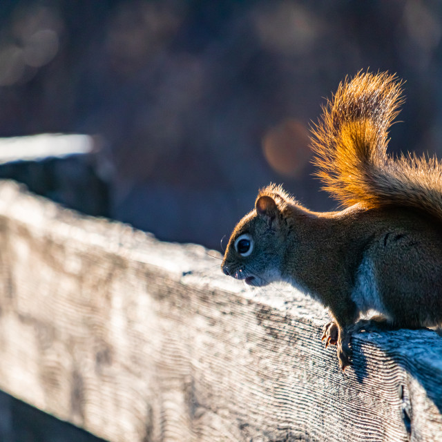 """""""American Red Squirrel Ready to Jump from a Fence"""" stock image"""
