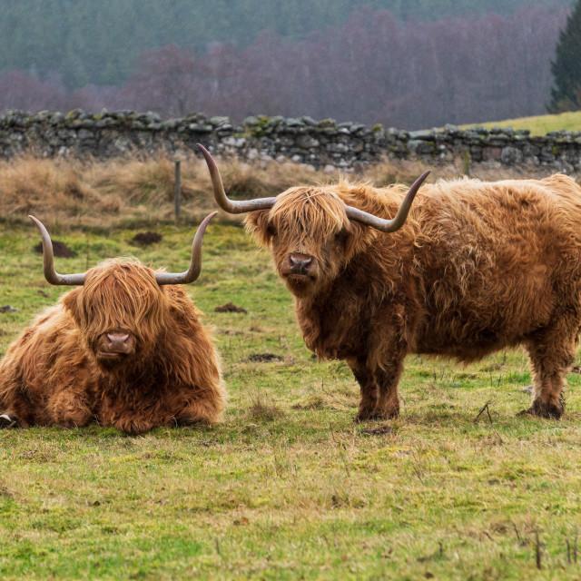 """""""Scottish Cow, Highlands"""" stock image"""