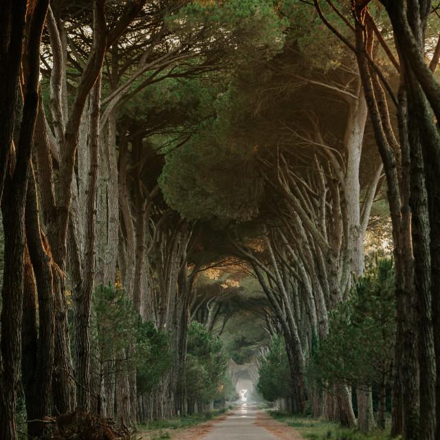 """Pine Road"" stock image"
