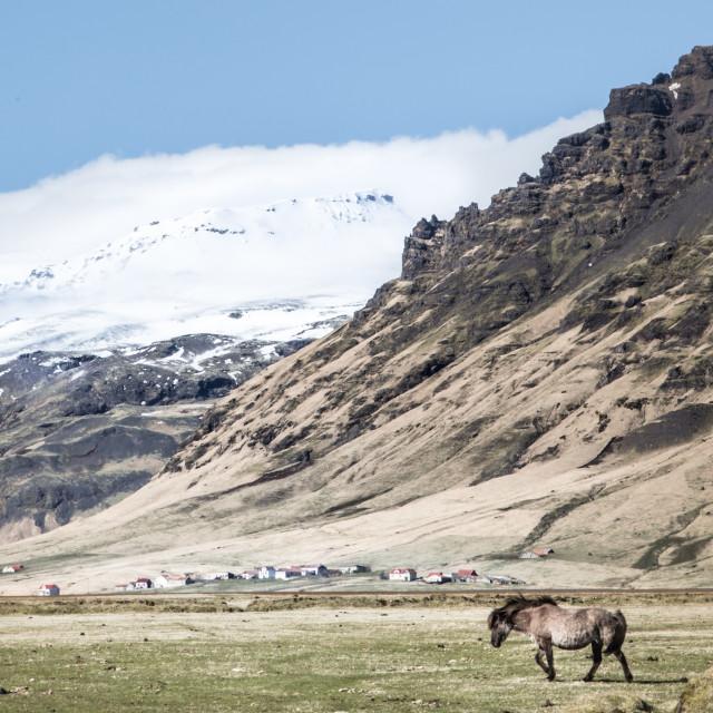 """""""Horse on Iceland"""" stock image"""