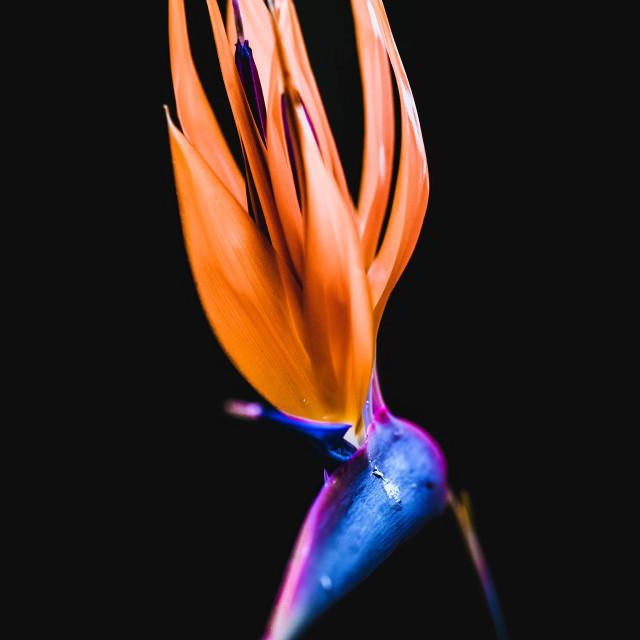 """Hibbertia sp."" stock image"