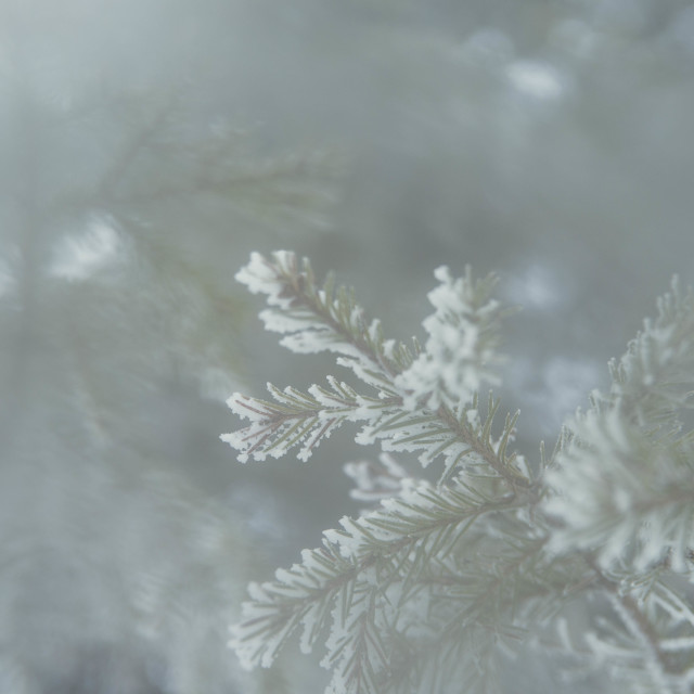 """Frosty evergreen"" stock image"