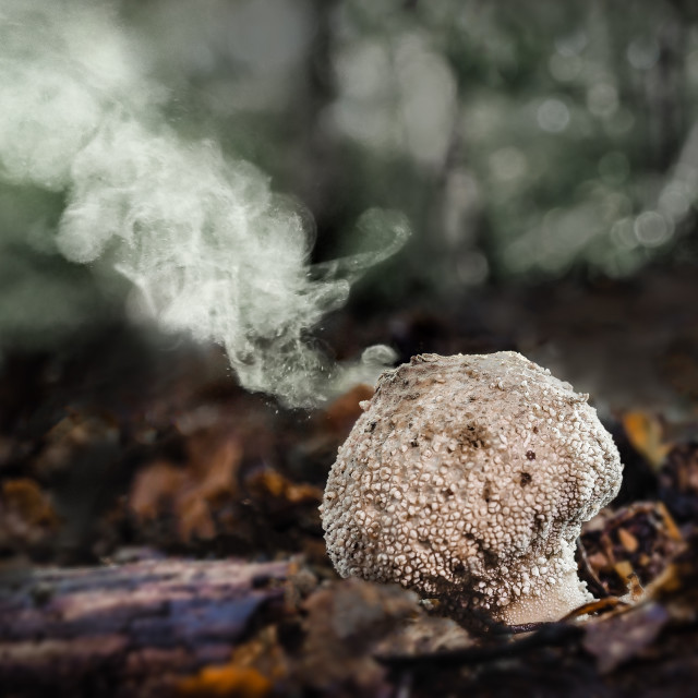 """""""Common puffball Scleroderma citrinum no 1"""" stock image"""