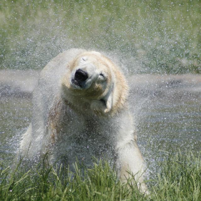 """""""Polar bear shaking its head"""" stock image"""