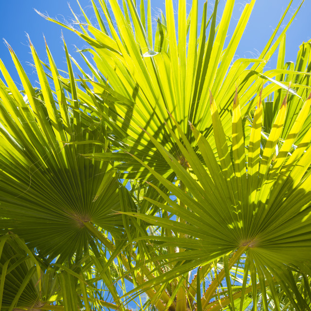 """Palms in Baja, Mexico"" stock image"