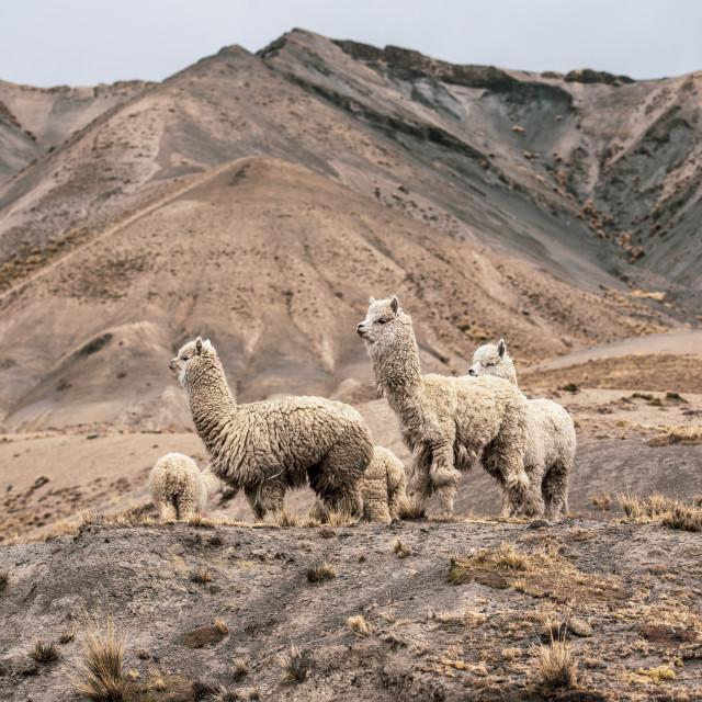 """Llamas - Bolivia"" stock image"