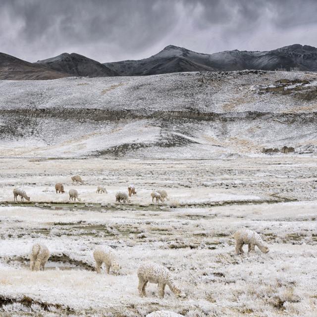 """snowed llamas"" stock image"