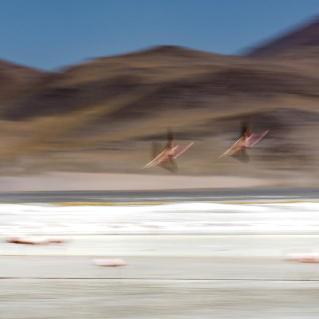 """Flamingos"" stock image"