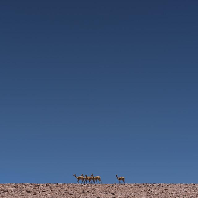 """""""Vicuñas"""" stock image"""