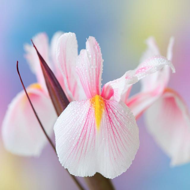 """""""Iris"""" stock image"""