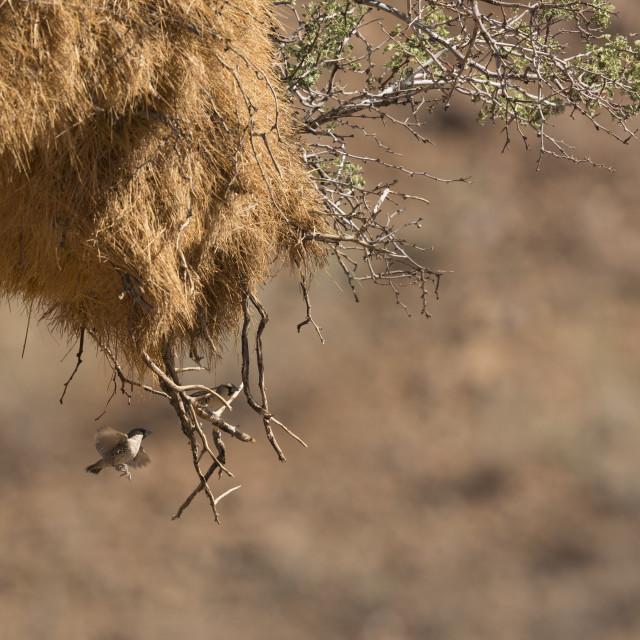 """""""0918 - Namibia (Hardab Region, D707): weavers"""" stock image"""