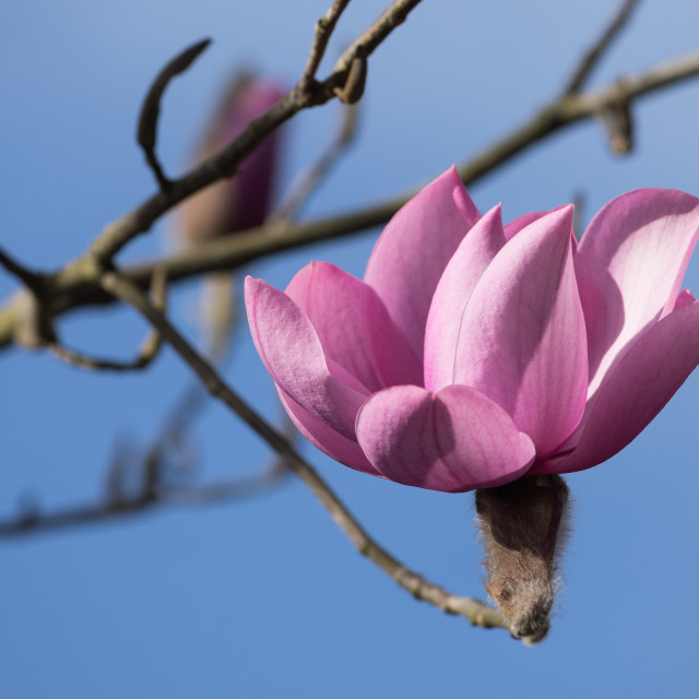 """Magnolia Flower"" stock image"