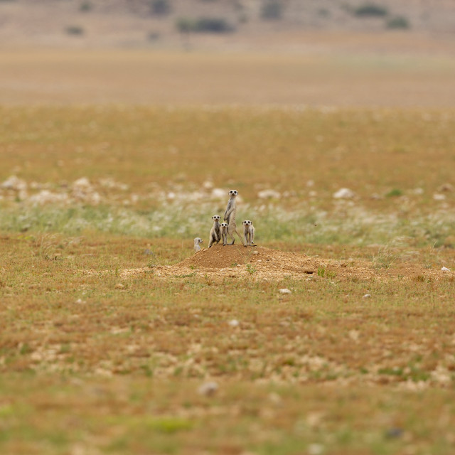 """""""1449 - Namibia: MEERKAT WITH YOUNGSTERS"""" stock image"""