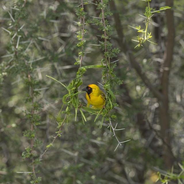 """2467 - Namibia: masked weaver starting a nest"" stock image"