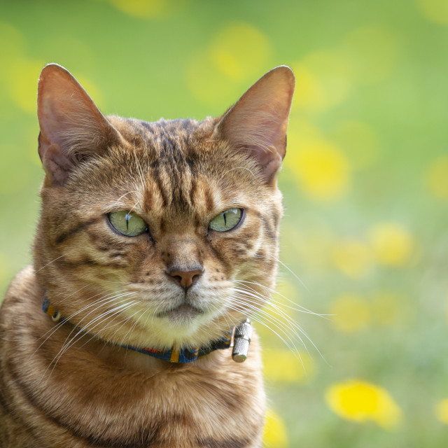 """Bengal cross cat looking towards camera"" stock image"