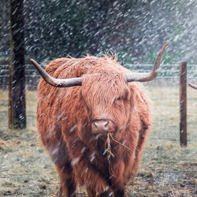 """""""Highland Cow in the Snow"""" stock image"""
