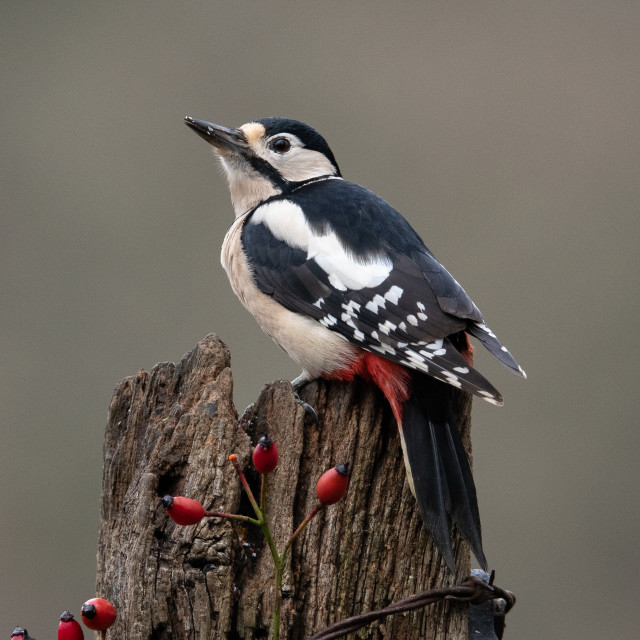 """""""Great spotted woodpecker"""" stock image"""