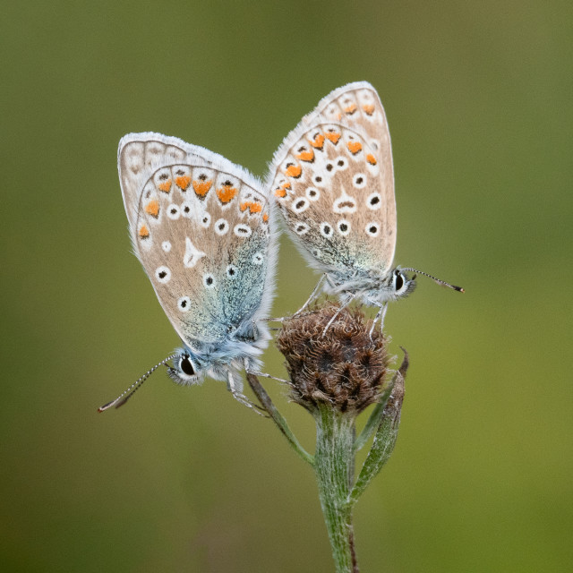 """""""Two common blue butterflies"""" stock image"""