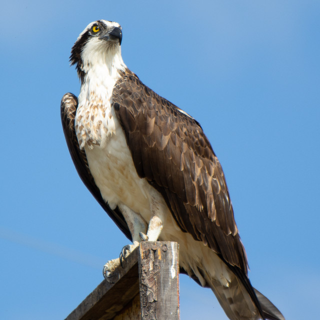 """""""Osprey ready for hunting"""" stock image"""