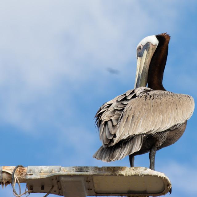 """Pelican staring at me"" stock image"