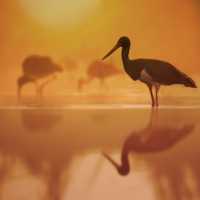 """Flock of black Storks Fishing at sunrise in Misty morning"" stock image"