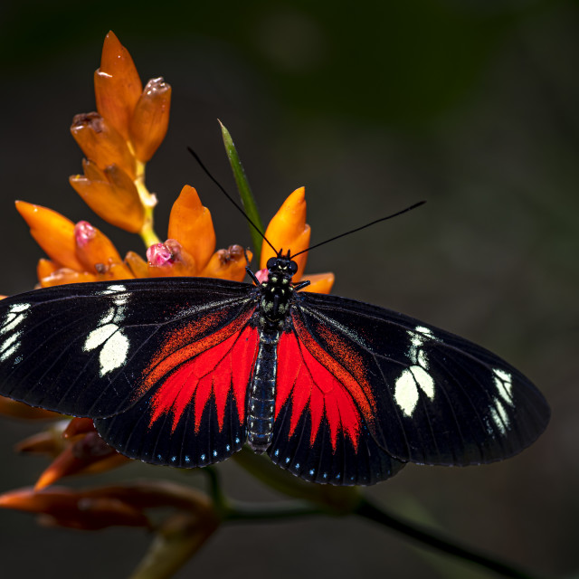"""""""Doris Longwing Butterfly Red"""" stock image"""