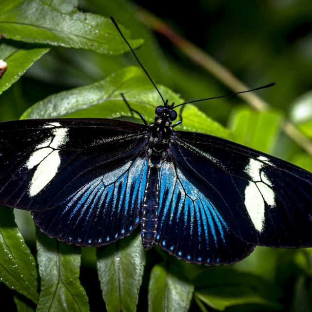 """Doris Longwing Butterfly Blue"" stock image"