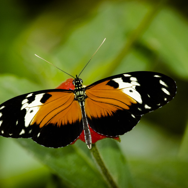 """""""Heliconius Butterfly image taken in Panama"""" stock image"""