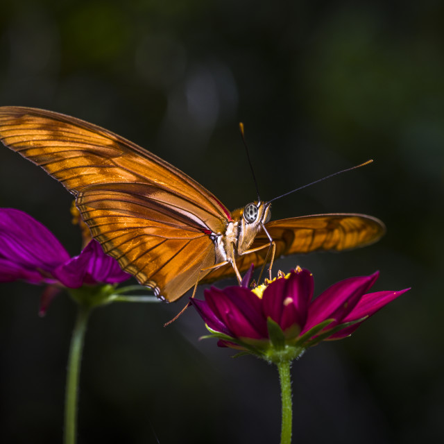 """""""Tiger Longwing Butterfly"""" stock image"""
