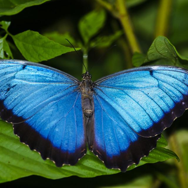 """Peleides Blue Morpho or also called Common Blue Morpho"" stock image"