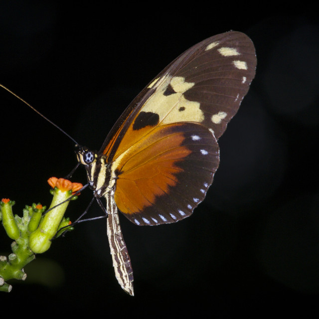 """""""Heliconius Butterfly on a flower"""" stock image"""