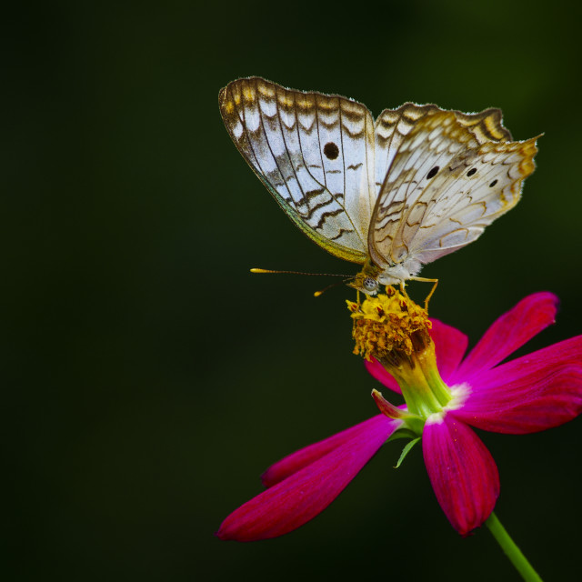 """""""White peacock butterfly on a flower"""" stock image"""