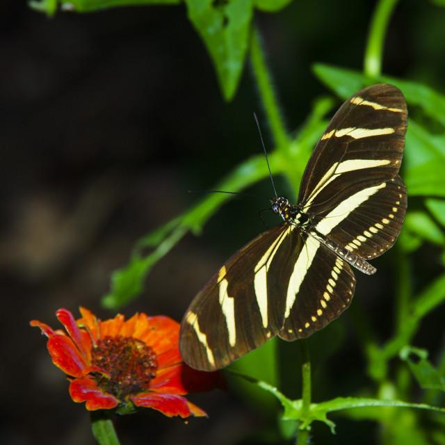 """""""Zebra Longwing butterfly"""" stock image"""