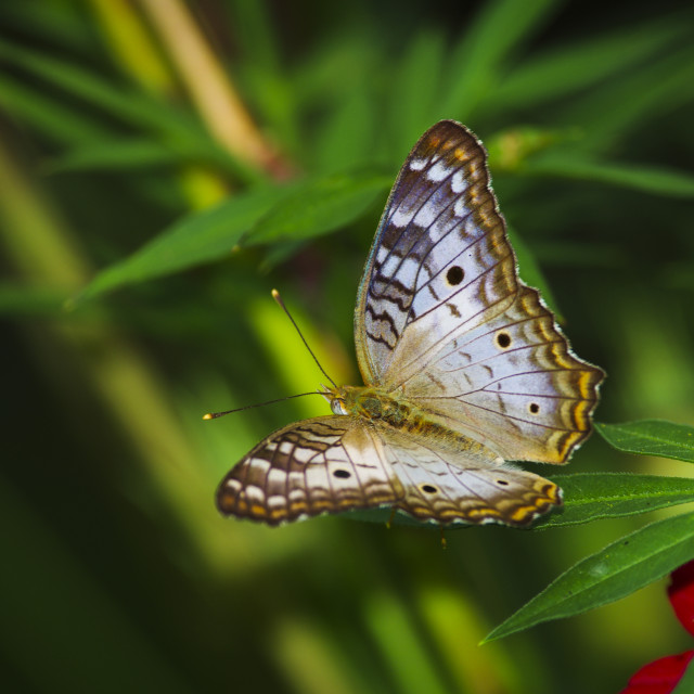 """White peacock (Anartia jatrophae) butterfly"" stock image"