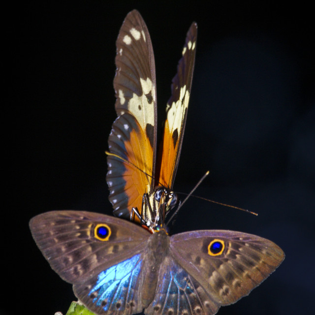"""2 Butterflies on one flower"" stock image"