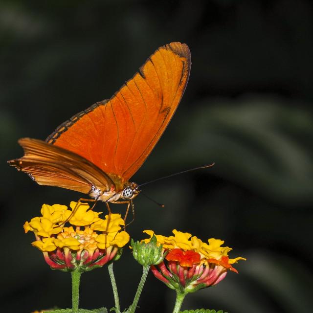 """""""Orange Julia Butterfly"""" stock image"""