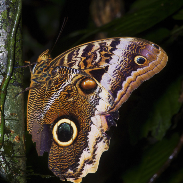 """""""Banded Owl Butterfly"""" stock image"""