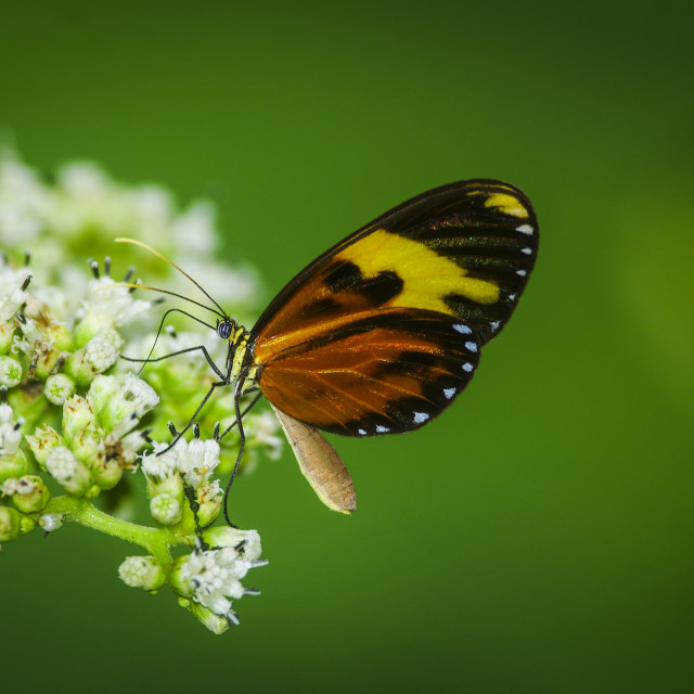 """""""Heliconius Butterfly on a bush"""" stock image"""