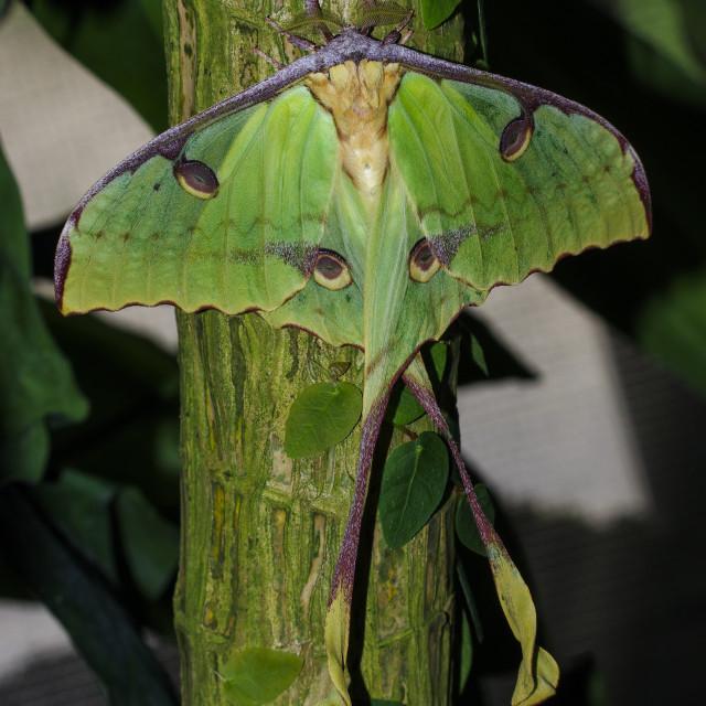 """African moon moth"" stock image"