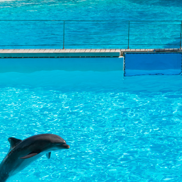 """Dolphin walking on the water, Zoomarine"" stock image"