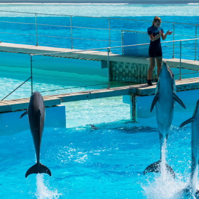 """Dolphins in the middle of their show at Zoomarine"" stock image"