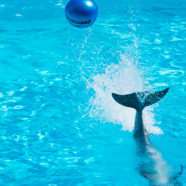 """Dolphin dropping the ball into the audience, Zoomarine"" stock image"