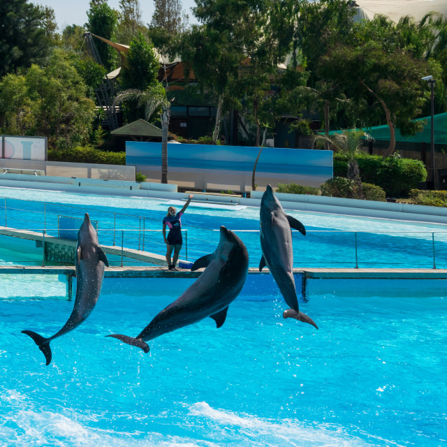 """Dolphins in the middle of their show"" stock image"