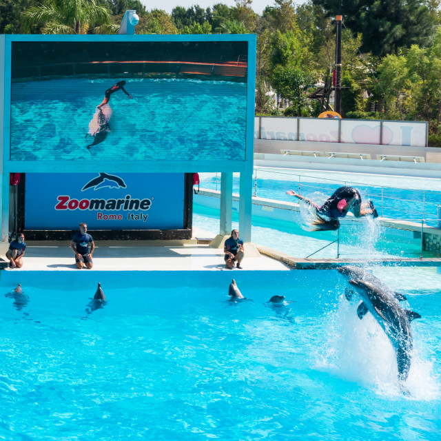 """Dolphins in the middle of their show while helping their trainer to jump out of the water, Zoomarine"" stock image"