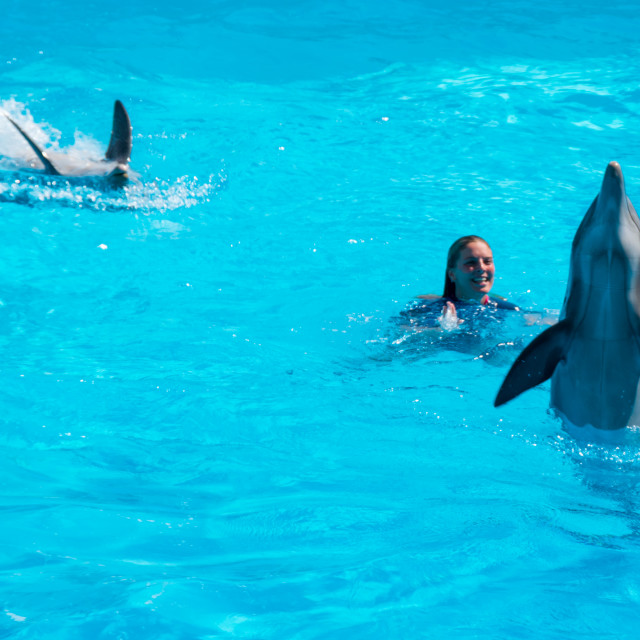 """Dolphins in the middle of their show accompanied by their trainer"" stock image"
