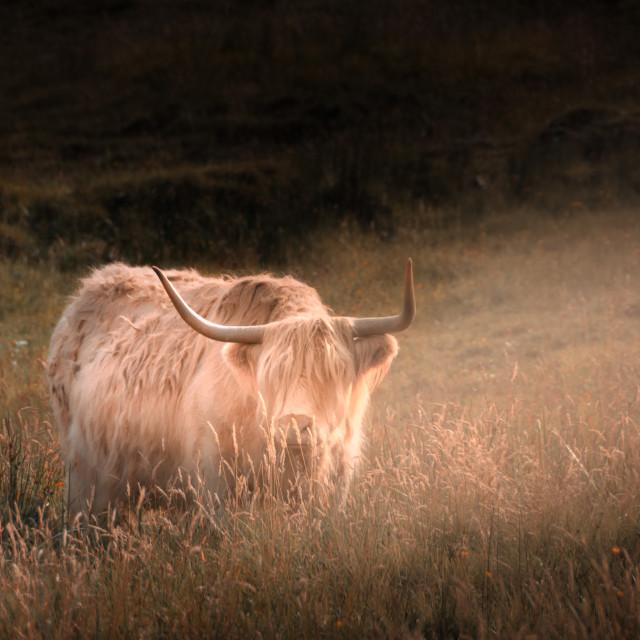"""Highland Cow on Skye"" stock image"